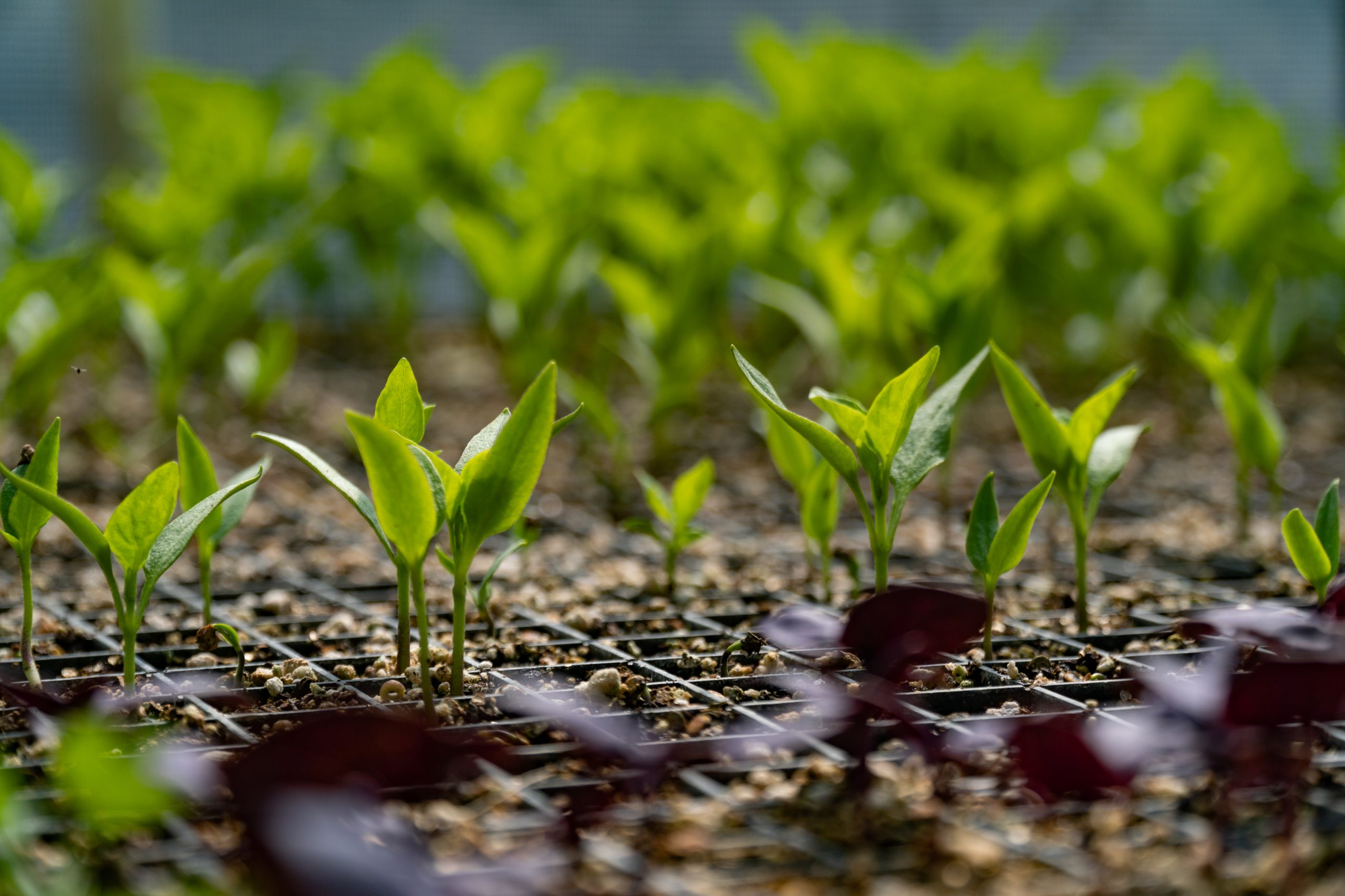 Sowing Seeds to Start Your Vegetable Garden