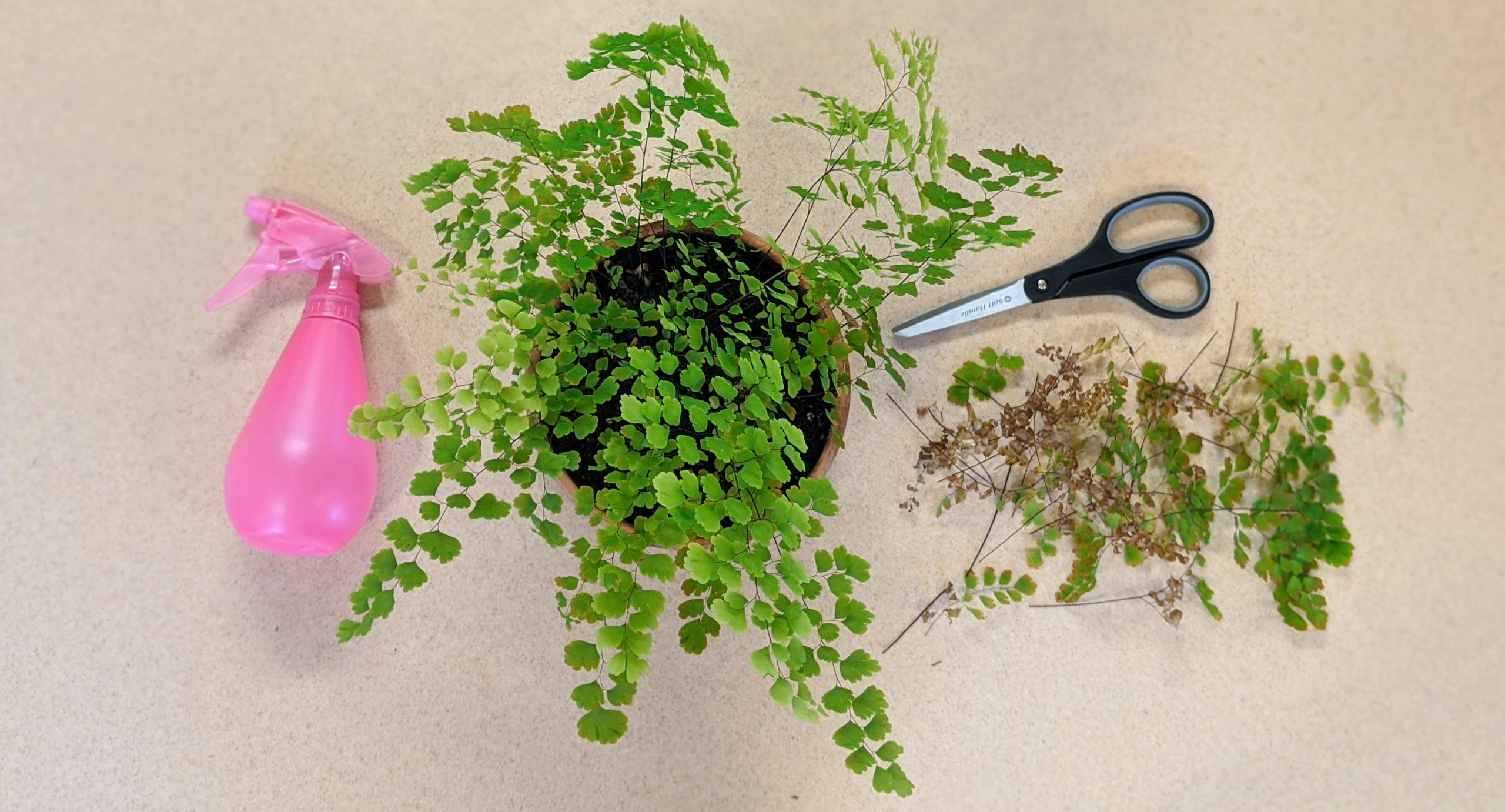 How to Care For Your Maidenhair Fern in Davis Climate